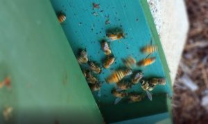 Drone bees being evicted from hive