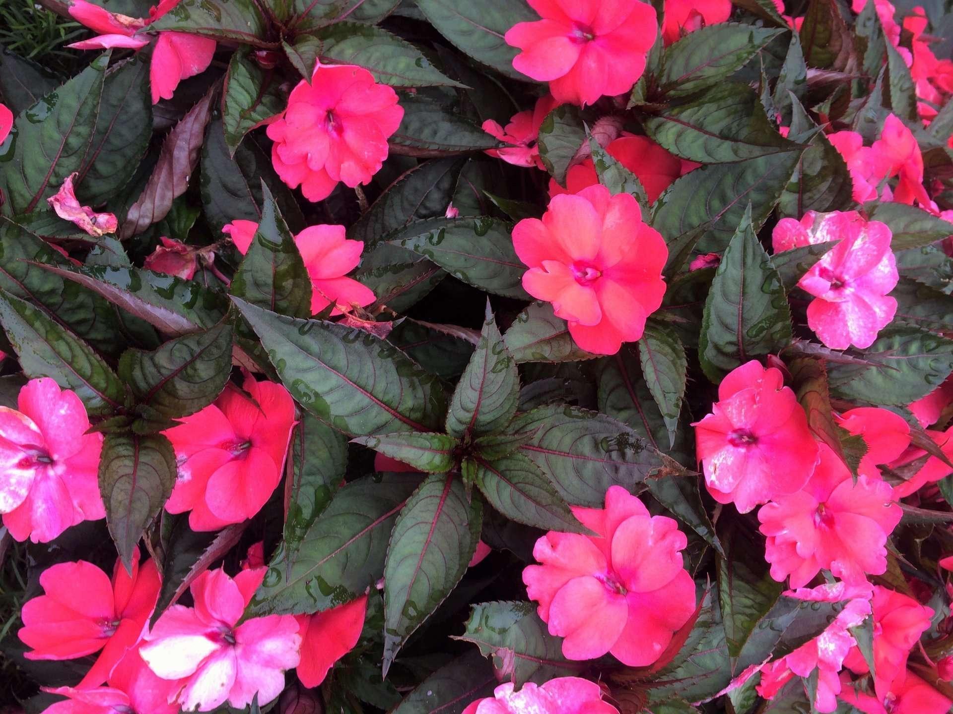 Sun Patiens Flowers