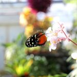 Butterfly in convervatory