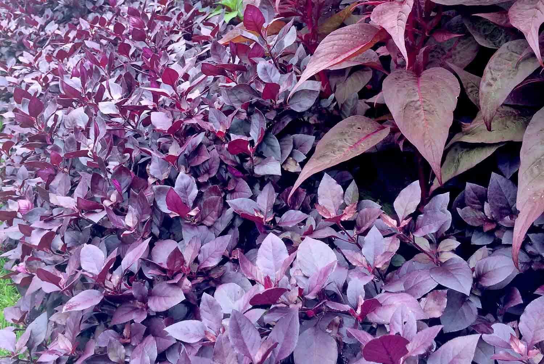 Alternanthera Little Ruby Celosia Dragons Breath leafs