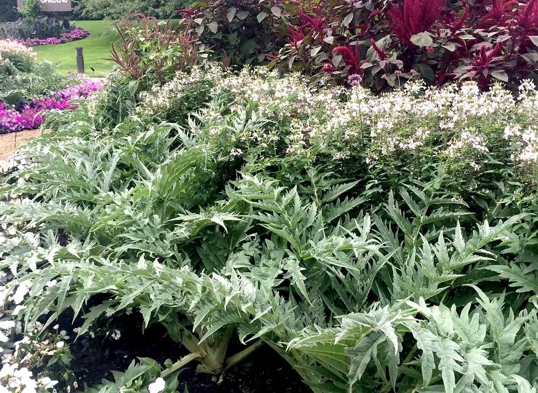 Cleome Blanca in garden