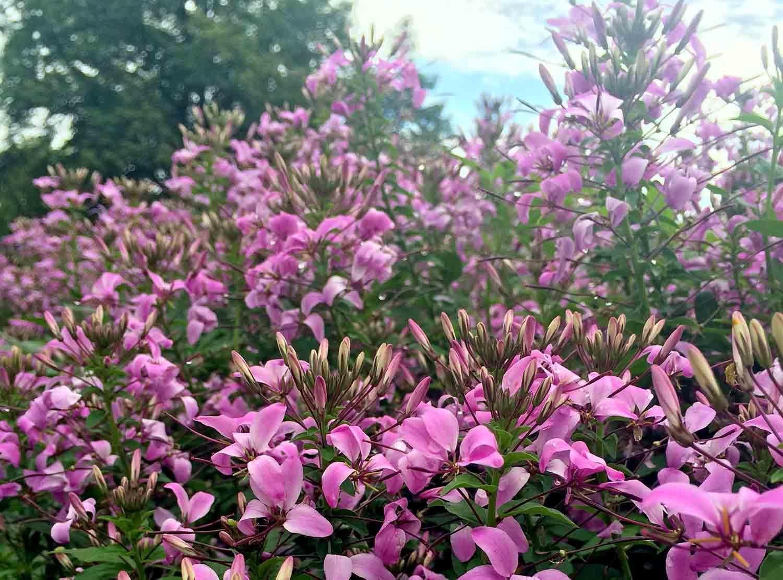 Cleome Rosalita blooms