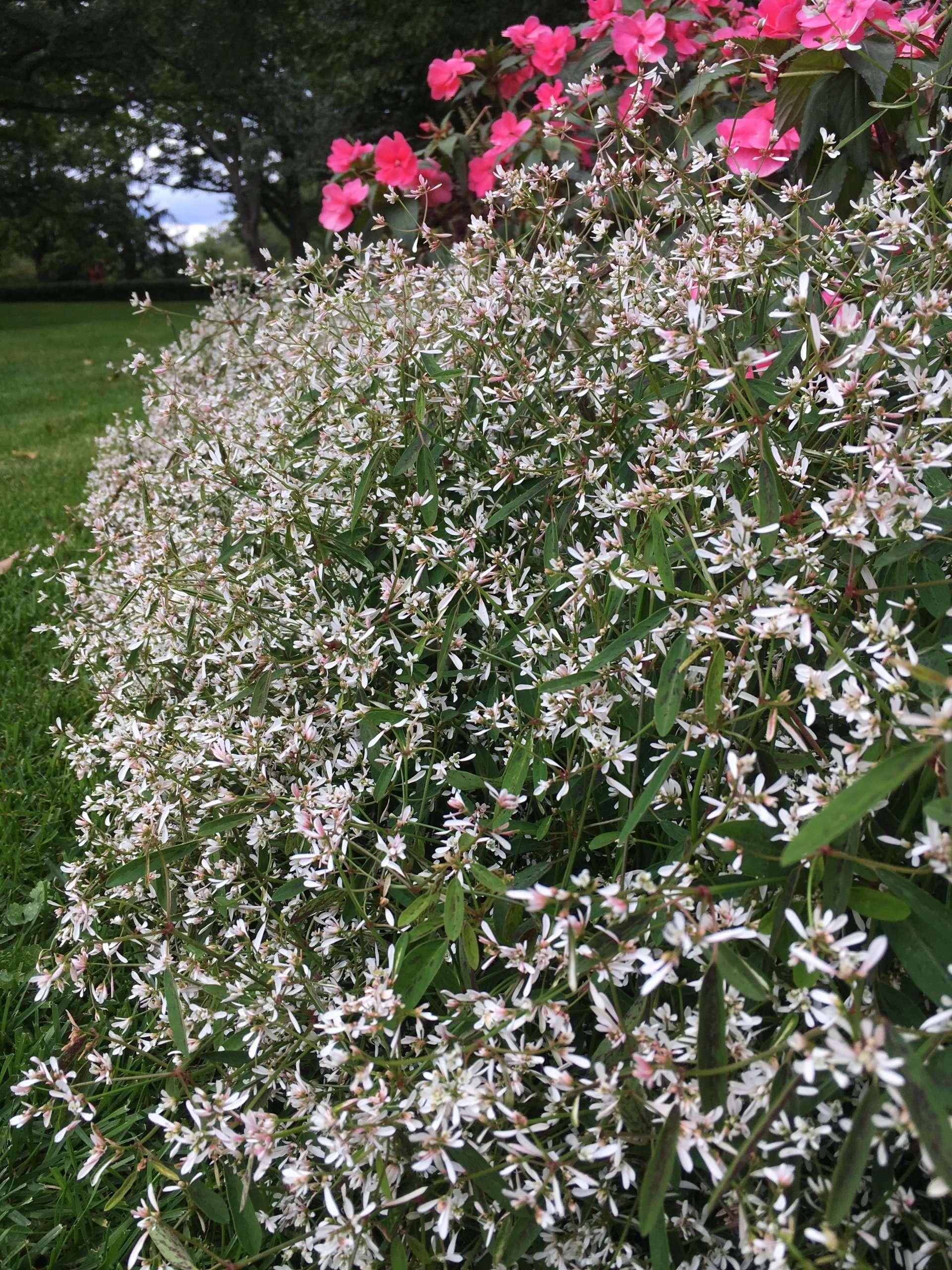 Euphorbia Breathless Blush bush