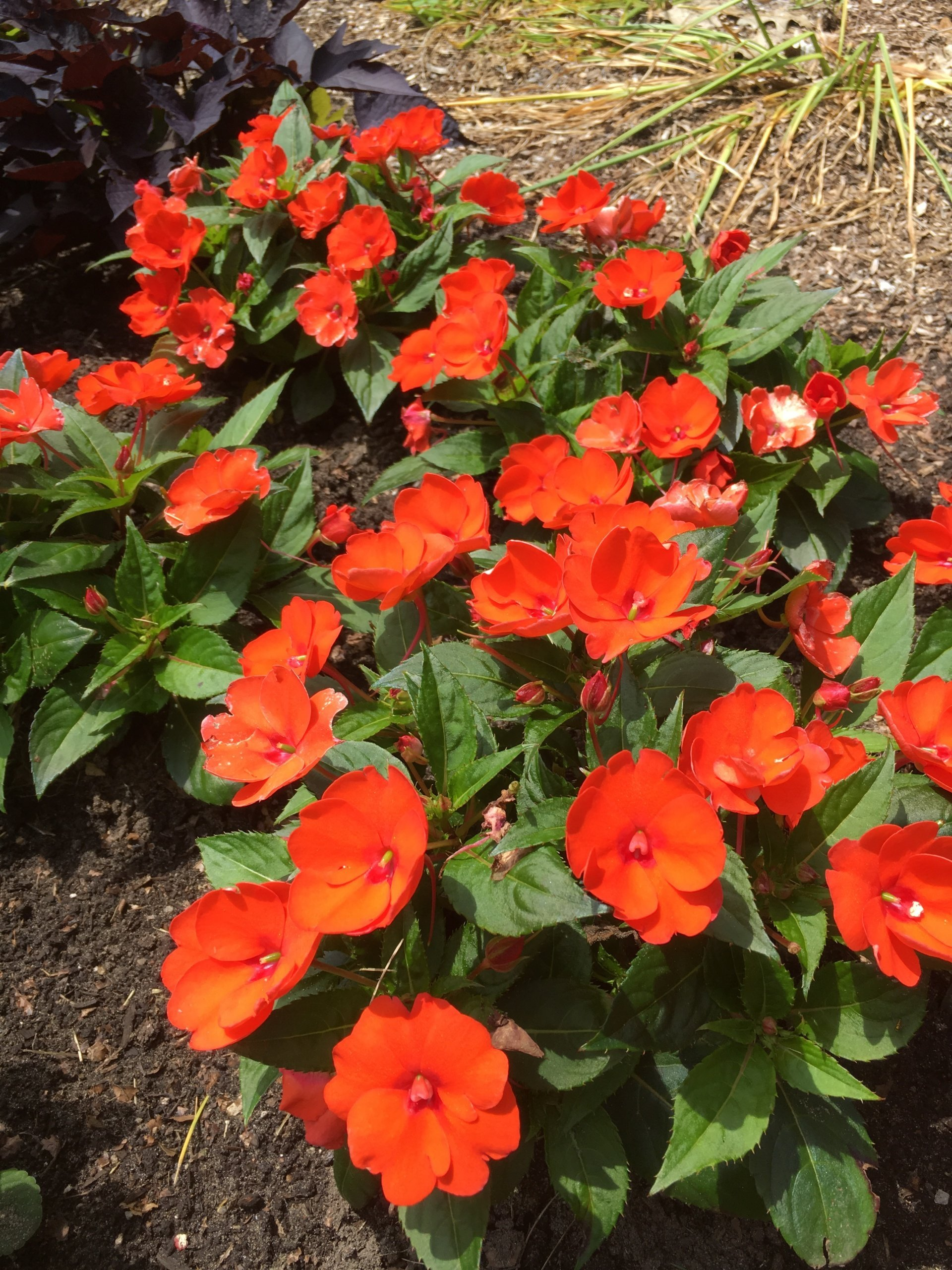 Sunpatiens Compact Electric Orange flowers