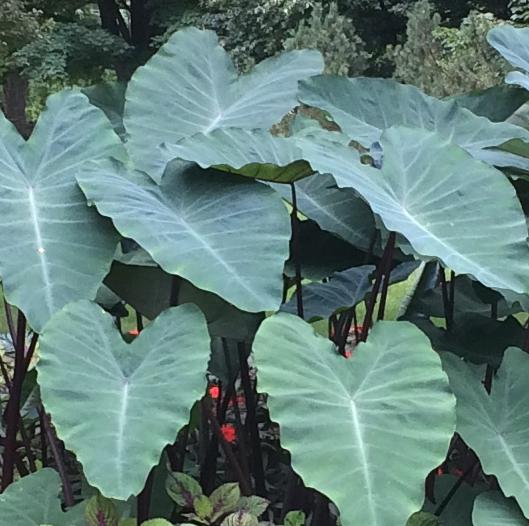 Colocasia Plant