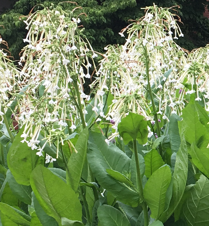 nicotiana blooms