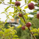 Apples on Whiting Forest orchard tree
