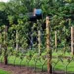 Orchard espalier