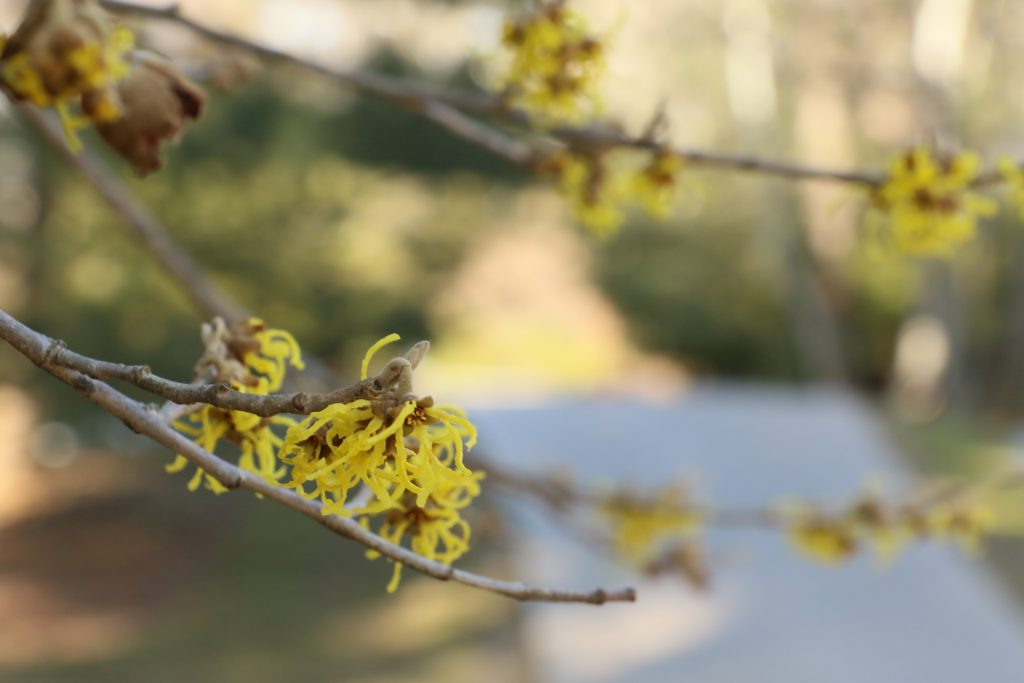 Yellow Witchhazel plant