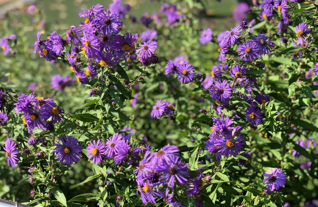 New England Aster