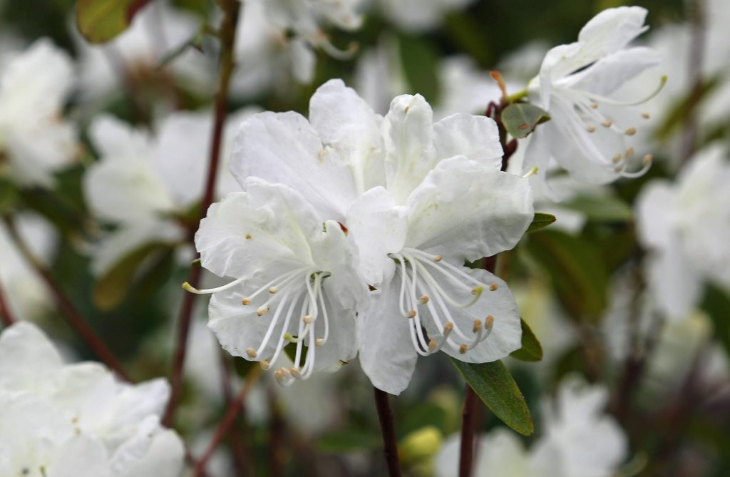 Dahurian Rhododendron