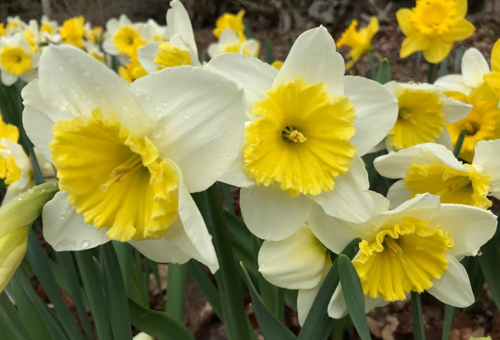Large-cupped Daffodil