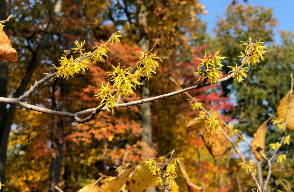 A photo of Witch Hazel on the grounds of Dow Gardens.